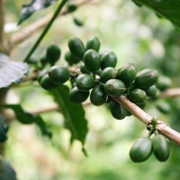 Zelená káva a vytrvalostní sport
